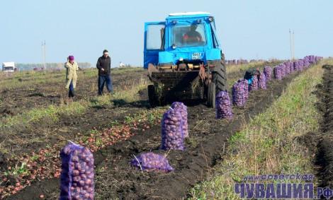 уборка картофеля страда полевые работы