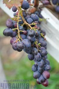 виноград чувашия