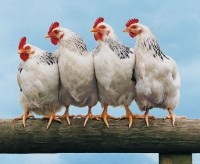 курицы на жердочке