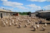 гусиная ферма разведение гусей