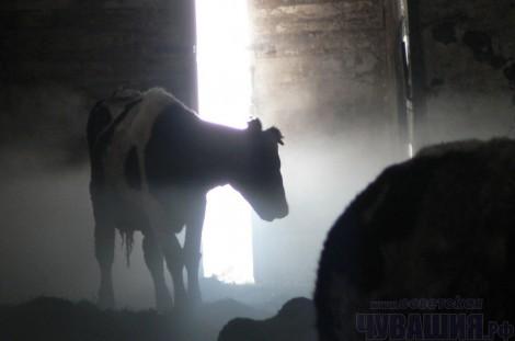 ферма коровы корова