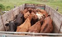 скотовозка перевозка скота