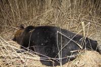 дтп медведь