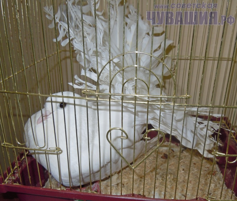 Клетка для голубей фото