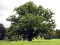 mare2_69_699_Quercus_robur