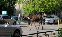 Среди машин лосям не место. Фото с сайта metronews.ru