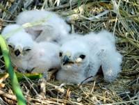 Белые и пушистые хищники. Фото Миназыма РАХМАТУЛЛИНА