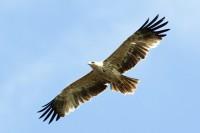 Размах крыльев солнечного орла достигает двух метров.Фото media73.ru