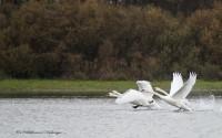 Как-то осенью на Хоме появились изящные лебеди – шипуны.Фото из ЖЖ Валерии Никифоровой