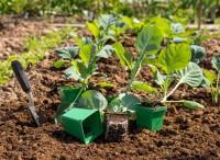 Смотрим на крапиву и высаживаем капусту