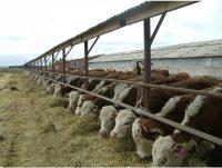 На заседании Кабмина принято также постановление о предоставлении субсидий на возмещение части затрат на строительство, реконструкцию и модернизацию мясных и откормочных комплексов. Размер субсидии – 20 проц. от понесенных затрат. Это будет способствовать увеличению в этом году объема производства говядины в сельскохозяйственных организациях республики до 49 тыс. тонн, а численности специализированного мясного скота – до 5500 голов.Фото atmagro.ru