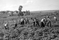 Cельские школьники работали в колхозах и совхозах наравне со взрослыми.