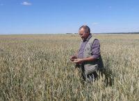 …А Валерий Лапшин готовится собирать новый урожай.Фото автора
