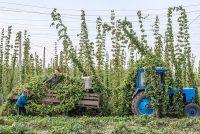 Чувашский хмель должен полностью удовлетворить потребности отечественного пивоварения.Фото cap.ru
