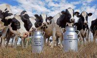 Одна из задач молочной отрасли – повысить продуктивность с нынешних 4400 килограммов от коровы в год до 5000 килограммов.Коллаж «СЧ»
