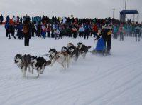 Сибирские хаски свободно пробегают в день полсотни километров.Фото cap.ru