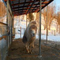 Густая шерсть позволяет бактриану легко переносить суровые зимы.Фото elnikovskaya.ru