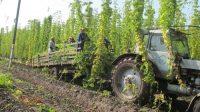 На Чувашию приходится 90 процентов валового сбора хмеля в России. Фото cap.ru