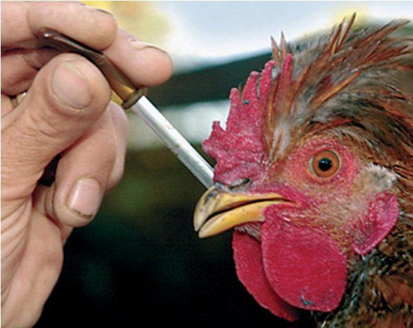 ВБашкирию завезли зараженное птичьим гриппом мясо