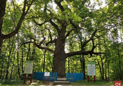 Старейшина чувашских дубрав претендует на звание дерева года России