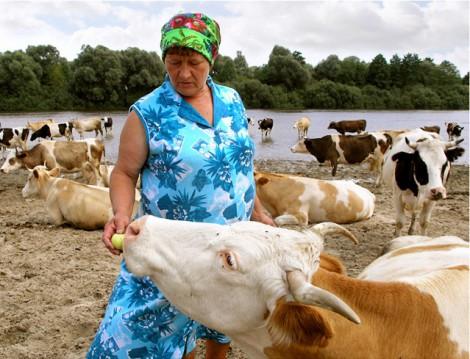 Субсидии для производителей молока