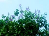 Сирень цветет в августе