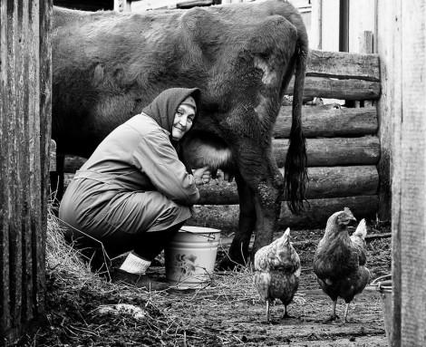 доярка доит корову
