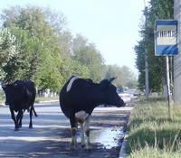 _cows