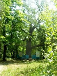 Старейшина чувашских дубов внесен в Реестр старовозрастных деревьев России.