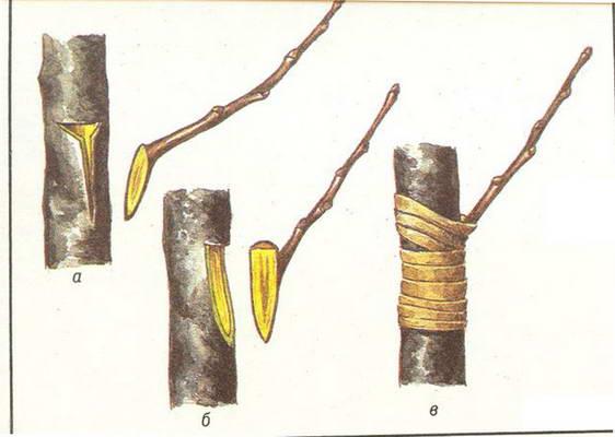 Как сделать прививки деревья